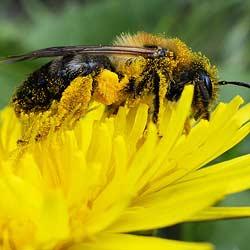 Pollensammlerin für Bienenbrot oder Perga