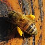 Wird Pollen auf nüchternem Magen eingenommen kann es zu Magenschmerzen kommen. Ein Teelöffel täglich reicht aus um eine entsprechende Nahrungsergänzung zu erreichen. Bei Kindern sollte ein halber Teelöffel reichen. Pollen darf niemals überhitzt werden, da er sonst sein Wirkung verliert.