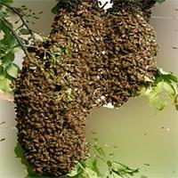 Bienenschwarm gesehen und melden