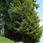 lindenbaum.jpg